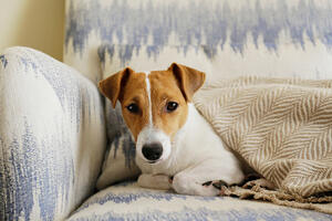 dog on couch with blanket