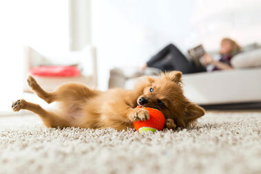 dog playing with ball in apartment_611550485
